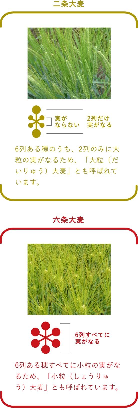 二条大麦と六条大麦の違い